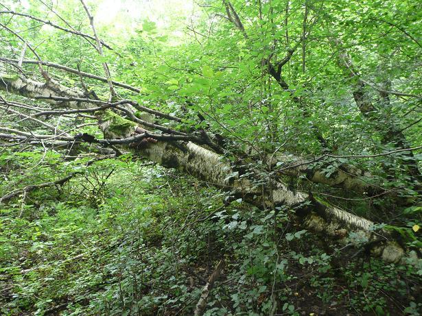 Padnutá breza