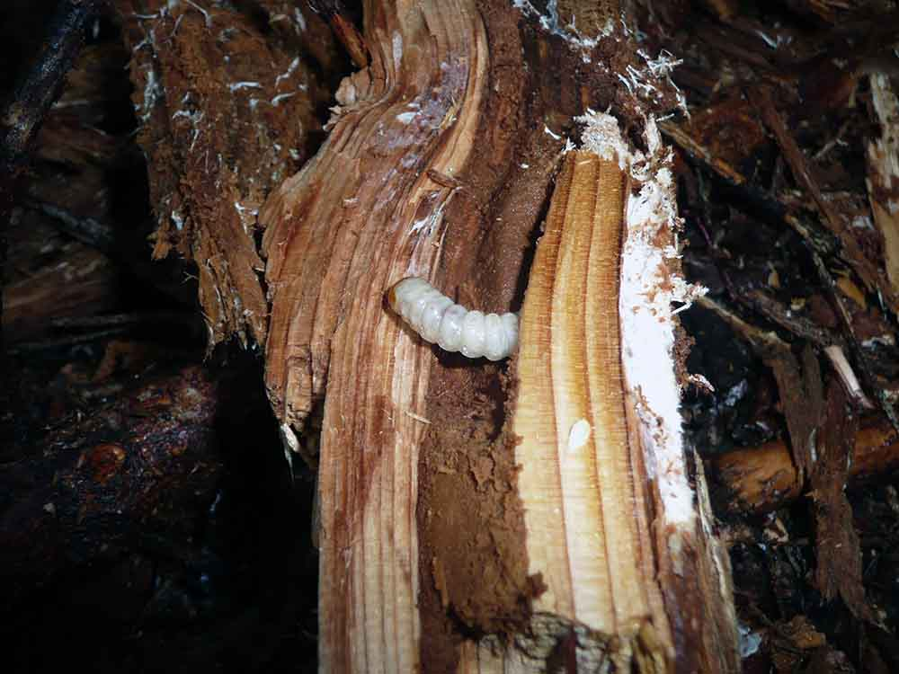 Jedlo v prirode larvy (4)