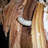 zalesactvo-Jedlo-v-prirode-larvy